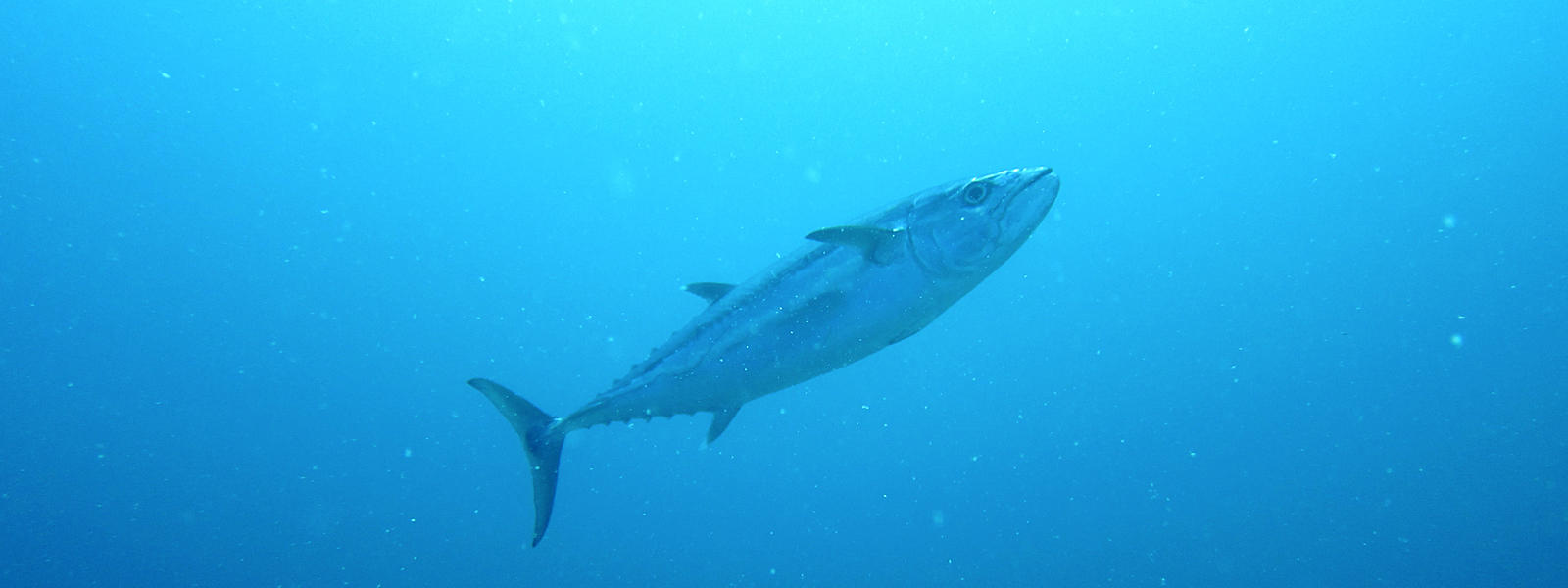 The Skipjack Tuna